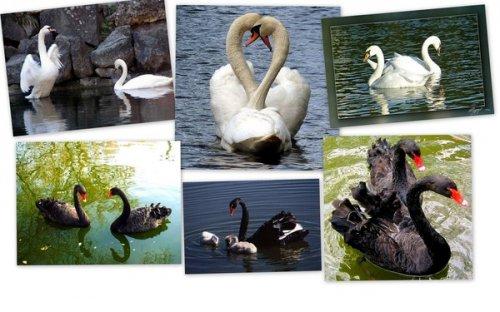 Лебеди (30 фото)