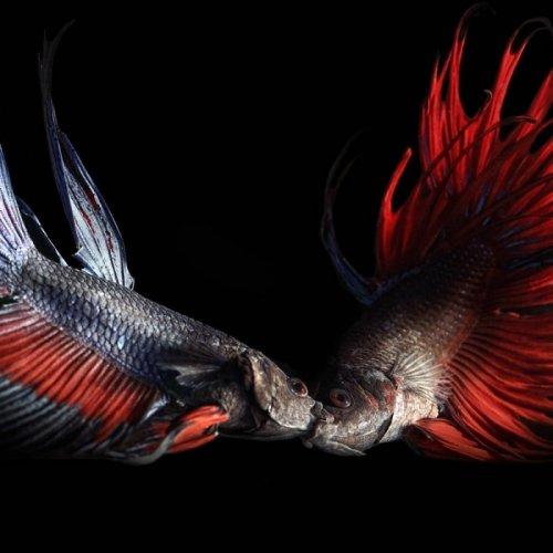 Рыбки от Heru Suryoko (12 фото)
