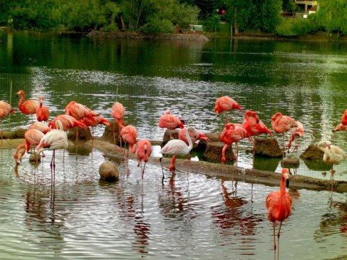 Фламинго - самые красивые птицы (47 фото)