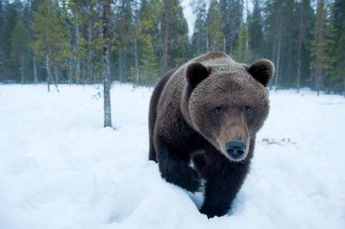 Бурый медведь (13 фото)