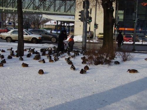 Утки зимой в городе (4 фото)