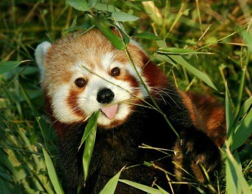 Красная панда (48 фото)