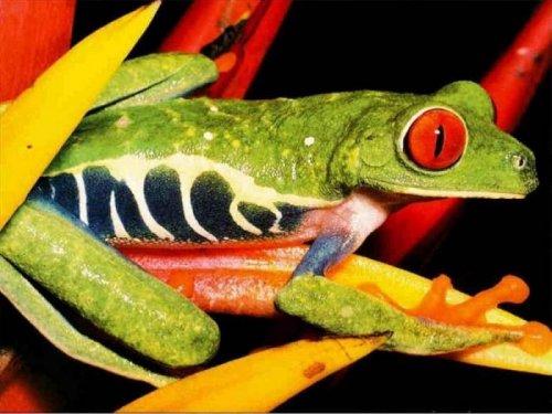 10 самых странных лягушек в мире (11 фото)