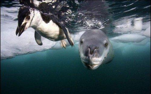Морской леопард - охотник на пингвинов (15 фото)