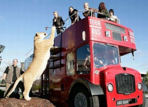 Самая большая кошка в мире  (6 фото)
