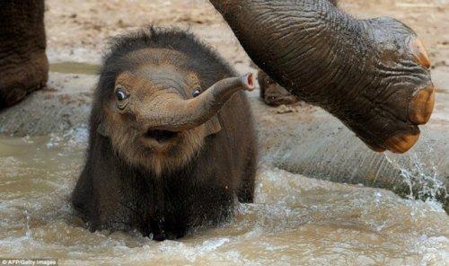 Трехнедельный слонёнок зоопарка Мельбурна (4 фото)