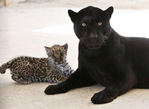 Малыш ягуар с мамой (7 фото)