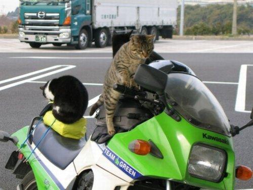 Кошки за рулём (20 фото)