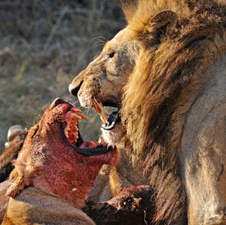 Хищники и их жертвы (20 фото)
