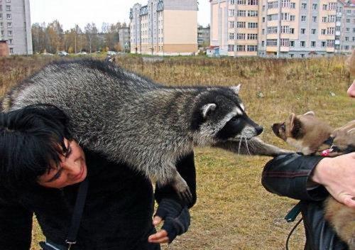 Тверской енот Кузя (42 фото)