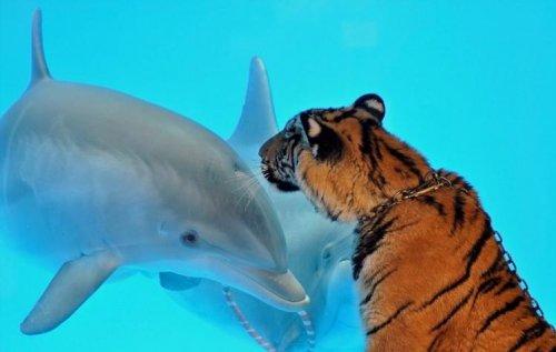 Тигр и дельфин (3 фото)