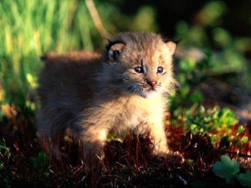 Котята больших кошек (26 фото)