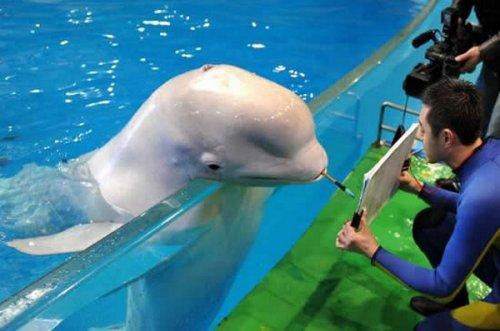 Дельфин-художник (4 фото)