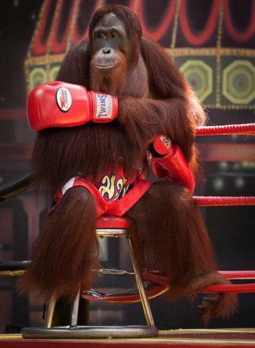 Орангутанги-боксеры (14 фото)