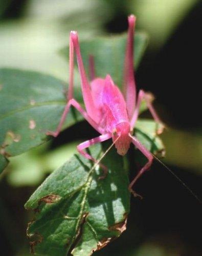 Розовый кузнечик (5 фото)
