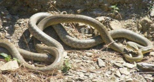 Как спариваются змеи (25 фото)