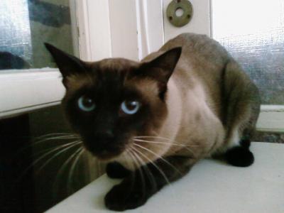 В Подмосковье сиамский кот покалечил целую семью