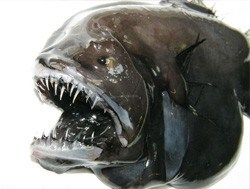 У берегов Гренландии найдены неизвестные виды рыб