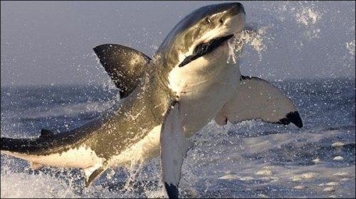 Атака акулы на тюленя (6 фото+видео)