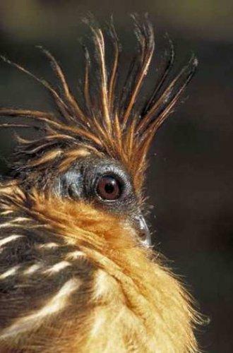Птица-Гоацин (6 фото)