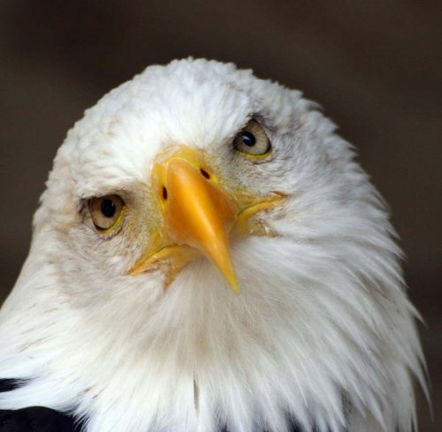 Орёл-птица гордая! (14 фото)