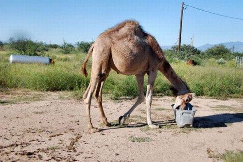 Верблюд развлекается (19 фото)