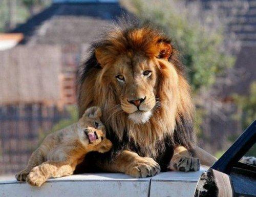 Семейка львов (17 фото)