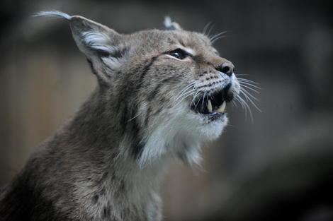 В Таллиннском зоопарке рысь сбежала из клетки