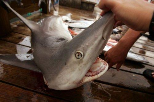 Акула-страшный морской хищник (30 фото)