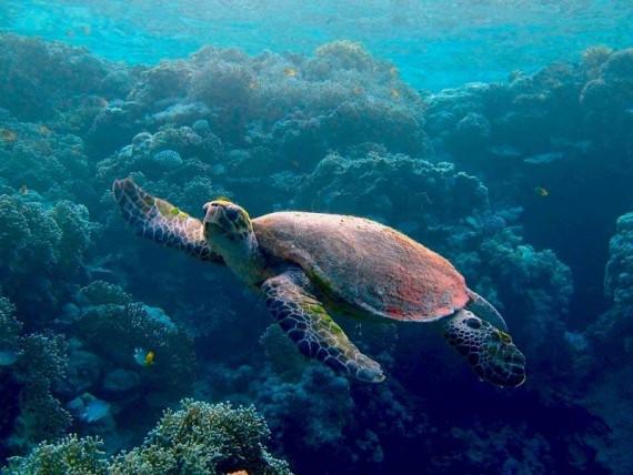 Подводный мир → морские черепахи 10