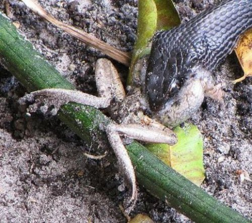 Жаба против змеи (29 фото)