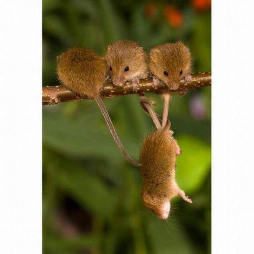 Мышки-полёвки (17 фото)