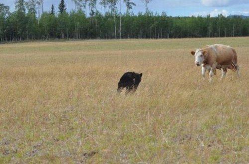 Коровы против медведя (13 фото)
