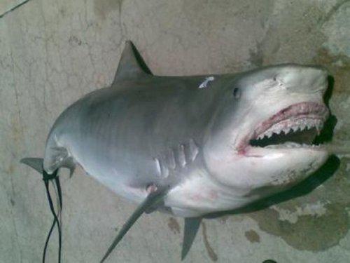 Человек в акуле (4 фото)
