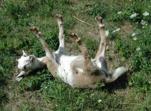 Обморочные козы (7 фото)