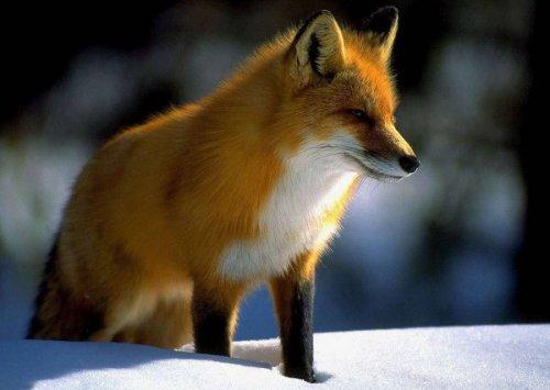 Доказательство лисы