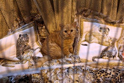 Выставка кошек в Бирмингеме (15 фото)