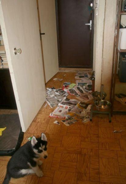Уход за хасками в квартире