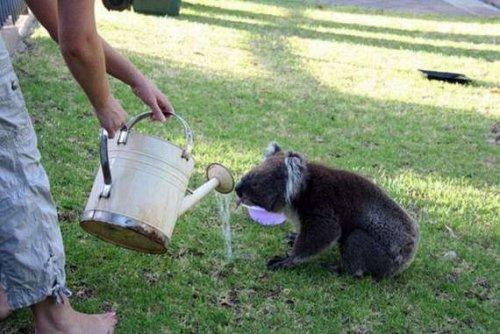 Потешная коала (21 фото)