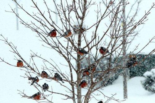 Симпатичные фотографии снегирей (20 фото)