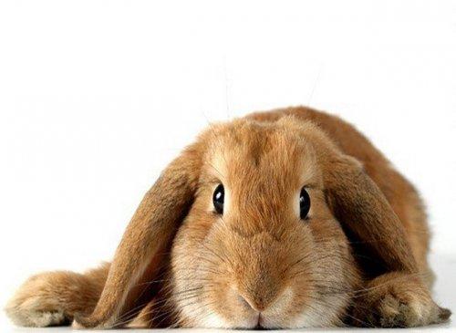 Английский вислоухий кролик (13 фото)