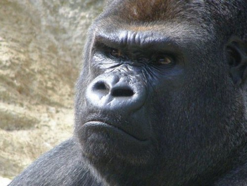 Суд обезьяны