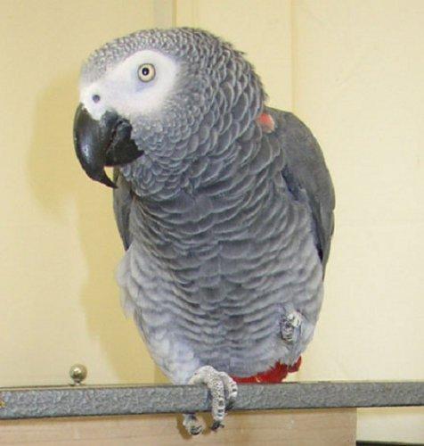 Самый умный попугай в мире (3 фото)