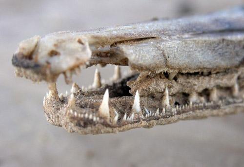 Рыба-крокодил (10 фото)