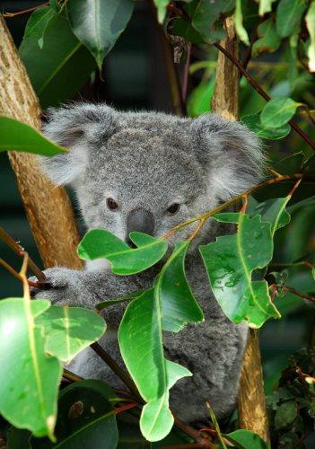Австралийская живность. Коалы. (16 фото)