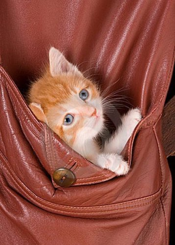 Карманные котята (23 фото)