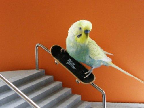 Попугай на скейте (15 фото+видео)