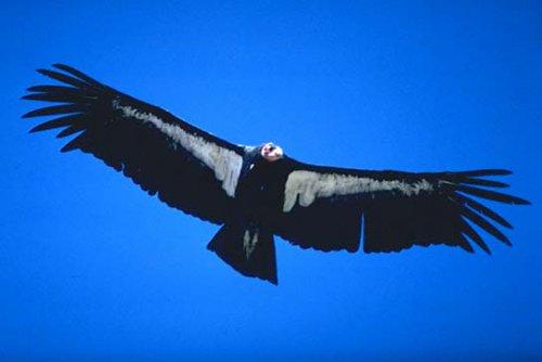 Андский кондор (15 фото)