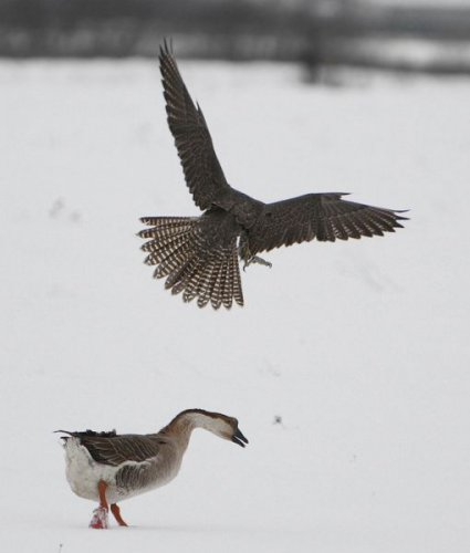 Ястреб против гуся (5 фото)