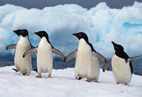 Пингвины меняют ареал обитания